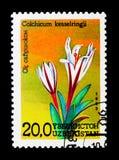 秋水仙属kesselringii,花serie,大约1993年 免版税库存照片