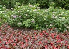 秋海棠和八仙花属百合在达拉斯树木园的花床 图库摄影