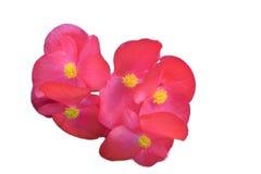 秋海棠在绿色叶子的FlowersPink颜色有黄色花粉的,  免版税库存图片
