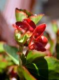 秋海棠桃红色绽放特写镜头细节 库存照片