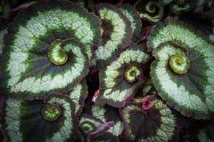 秋海棠植物的螺旋叶子 免版税图库摄影
