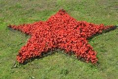 秋海棠的植物开花以在草坪的一个红色星的形式 库存图片
