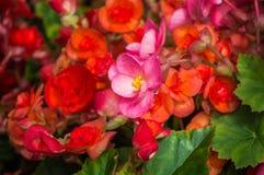 秋海棠花在庭院里开花 免版税图库摄影