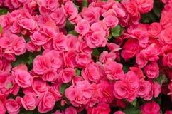 秋海棠花在庭院里 免版税库存图片