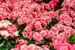 秋海棠花在庭院里 免版税图库摄影