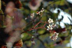 秋海棠花 库存照片