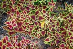 秋海棠雷克斯美丽的红色和绿色叶子, 免版税库存图片