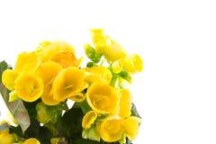 秋海棠黄色 免版税图库摄影