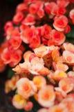 秋海棠 库存图片