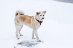 秋田狗在与随风飘飞的雪的冬天在它的鼻子 库存照片