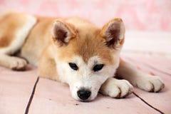 秋田狗在家在地板上 库存图片