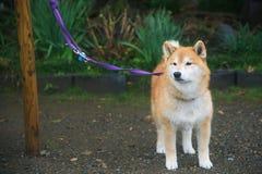 秋田狗或秋田Inu (Hachi)在公园 免版税库存图片