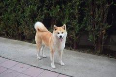 秋田狗摆在 免版税库存照片