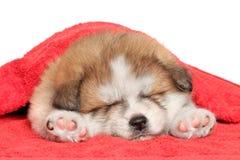 秋田inu在毯子之下的小狗休眠 免版税库存图片