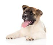 秋田inu看照相机的小狗 背景查出的白色 免版税库存图片