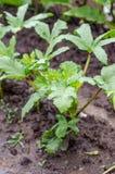 秋葵植物 图库摄影