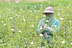 秋葵用未加工的秋葵在农场(Fingers夫人) 免版税库存照片