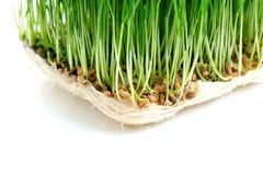 种子发芽 免版税库存图片