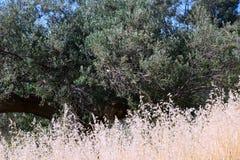 种子干野草和一棵老橄榄树,希腊 免版税图库摄影