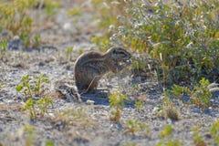 种子或花粉吹从地松鼠被吃的草被发布 免版税库存图片
