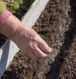 种子播种在准备的犁沟的 库存图片