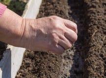种子播种在准备的犁沟的 库存照片