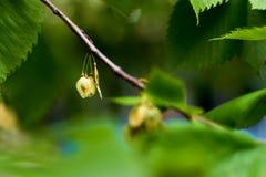 种子是成熟的在树 软的bokeh 免版税库存图片