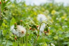 种子是sonsi白色 免版税图库摄影