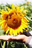种子-果子向日葵 免版税图库摄影