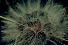 种子-菊科 免版税图库摄影