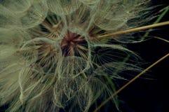 种子-菊科 库存图片