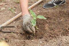 种植一个向日葵的农夫的手在庭院里 免版税库存图片