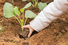 种植一个花椰菜到庭院的新鲜的土壤里 免版税库存图片