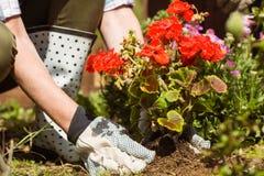种植一朵红色花的妇女 图库摄影