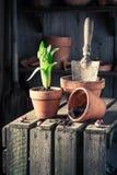 种植一朵绿色番红花 免版税库存图片