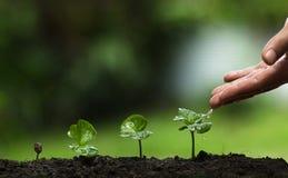 种植一棵树,生长咖啡树,生气勃勃,保护树,浇灌,生长,绿色的手, 免版税库存图片