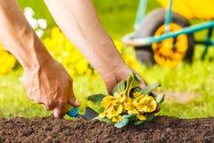 种植一棵黄色花植物的人手 免版税库存照片