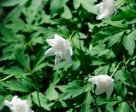 种植与许多可爱的白色银莲花属的一 库存照片