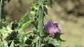 种植乳蓟东非香草marianum或cardus marianus医治草本,用于配药和民间愈合和 影视素材