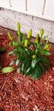 种植了几几天前倾斜等待它开花的这棵百合植物 免版税库存照片