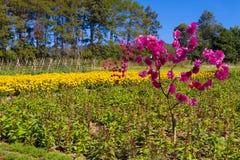 种植农作物鸡冠花argentea和万寿菊 库存图片