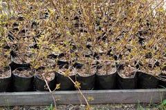 种植准备好的新芽结构树 库存图片