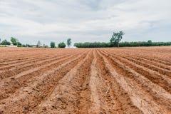 种植区域或木薯农田的木薯 免版税库存图片