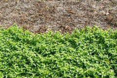 种植发芽的农业庄稼的春天领域 免版税图库摄影