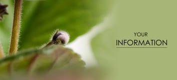 种植叶蕾花蕾紫罗兰色自然秀丽宏指令 库存照片