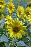 种植园开花了向日葵用于从事园艺 库存照片