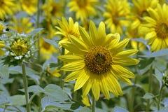 种植园开花了向日葵用于从事园艺 免版税库存图片