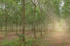 种植园橡胶树 免版税图库摄影