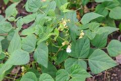 从种植园的豆或黑豆植物 库存图片