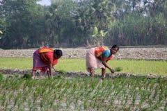 种植园米妇女工作 免版税库存照片